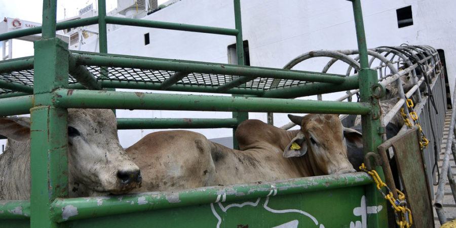 Exportações de gado vivo seguem em alta